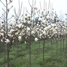 5到6公分好树形白玉兰报价以及图片图片