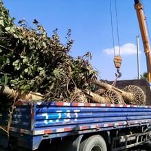 12好树形白玉兰发货湖南优质货源保质保量上车图片