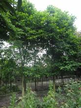 15公分白玉兰好树形下地给客户看货保质保量图片