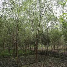 12公分全冠垂柳发货陕西榆林树形优美价格实惠图片