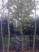 18白玉兰照片白玉兰报价大规格白玉兰树形图片
