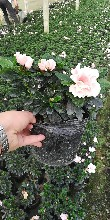 四川比利时杜鹃基地直销灌丛西洋杜鹃露天种植量大从优图片
