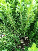 青州瓜子黃楊價格,瓜子歡迎種植基地江瑞綠化苗木基地圖片
