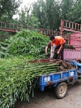 山东竹子价格,竹子基地,青州竹子种植基地江瑞竹子基地图片