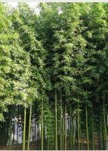 山东竹子/青州竹子/竹子种植基地陈乔恩江瑞竹子基地图片