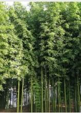山東竹子價格,竹苗價格,竹子種植基地江瑞竹子基地圖片