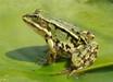 九江黑斑蛙的养殖及建池技术公司