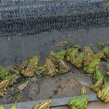 滨州黑斑蛙养殖基地 蛙农9号