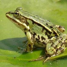 临沂黑斑蛙养殖技术