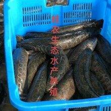 南京黑鱼的技术养殖