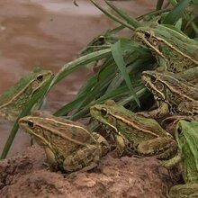 嘉兴黑斑蛙养殖技术及成长过程