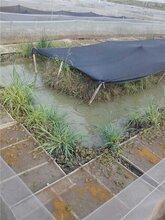 惠州黑斑蛙种苗养殖