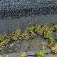 黑斑蛙的养殖及建池技术 湖北蛙农9号