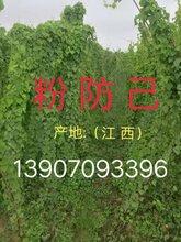 粉防lan)褐置miao),規範化種植技(ji)術,收購(gou)粉防lan)和計 />  <span class=