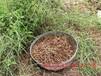 中國孩兒參-臨沂晶海藥用植物提供劃算的孩兒參