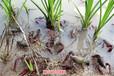農科益豐玉林小龍蝦養殖小龍蝦養殖材料