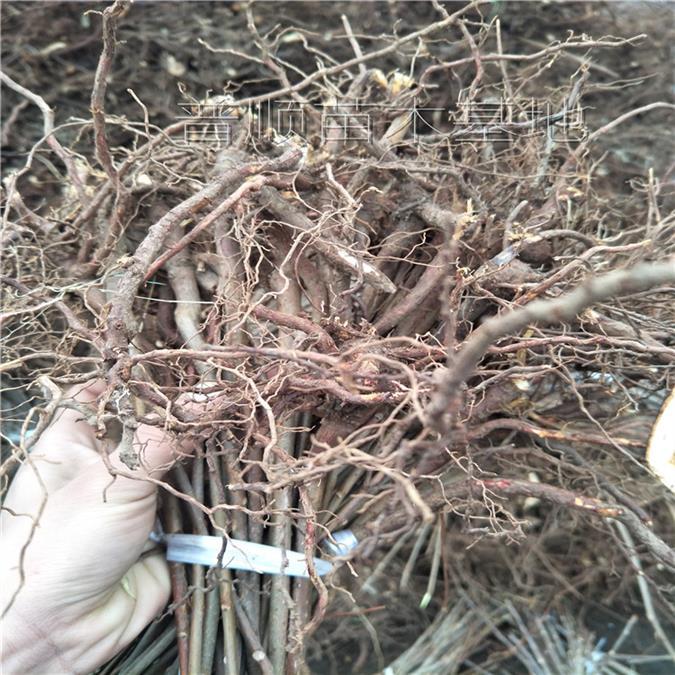 的红油香椿树批发