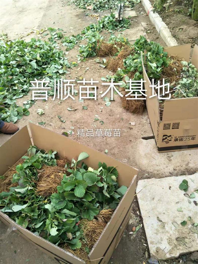 阜阳特价草莓苗 甜宝草莓苗 大棚草莓苗品种介绍