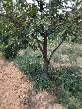 8公分柿子树产地+10公分柿子树供应商12公分阳丰甜柿子树图片