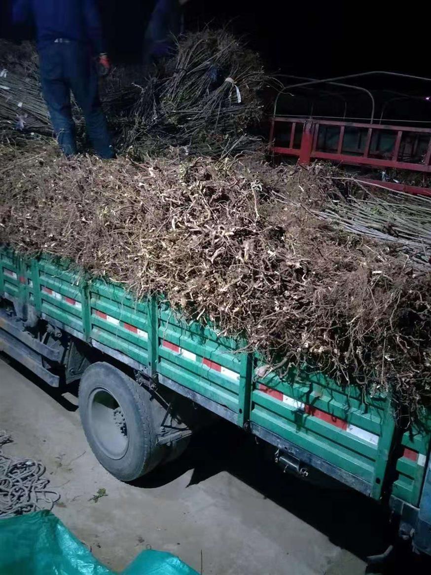 合肥香椿苗多少钱