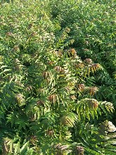 宜春香椿苗批发价红油香椿树大棚香椿产量如何图片