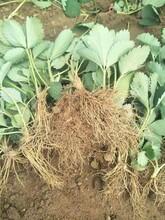 嘉兴专业草莓苗 红颜草莓苗 大棚草莓苗品种介绍图片