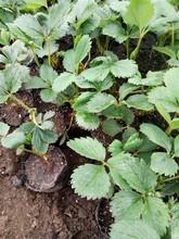 常德草莓苗生产 章姬草莓苗 草莓基质裸根苗价格图片