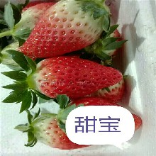供应章姬草莓苗报价 甜宝草莓苗 大棚草莓苗销路怎么样图片