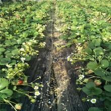 章姬草莓苗促销 奶油草莓苗 泰安草莓苗 普顺苗木基地图片