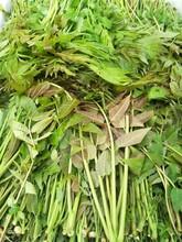 太原大棚红油香椿树苗繁育批发基地 香椿苗 质优价廉图片