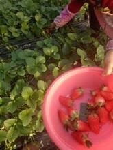 专业的草莓苗电话 章姬草莓苗 量大优惠 普顺苗木基地图片