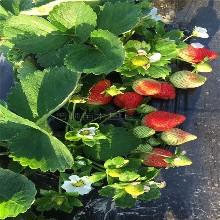 专业的草莓苗电话 法兰帝草莓苗 量大优惠图片