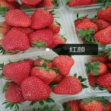 上饶草莓苗 红颜草莓苗 全国均可发货图片
