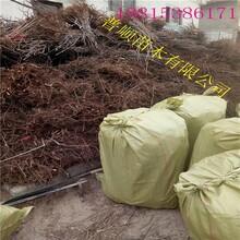台州香椿苗价格 香椿苗 绿油香椿树图片