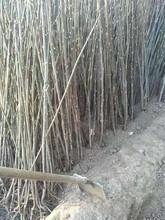 四川优质香椿苗厂家 红油香椿树 大棚香椿如何种植图片