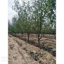 10公分玉露香梨树+10公分黄金梨价格+12公分梨树产地图片