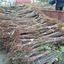 优质香椿苗供应商 香椿苗 香椿树苗厂家图片
