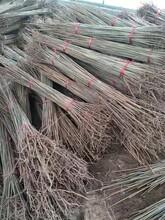 天津红油香椿树批发 红油香椿树图片