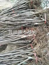 洛阳无花果树苗生产厂家 波姬红无花果树苗 大量供应图片