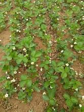正宗甜宝草莓苗电话 奶油草莓苗 草莓苗种植方法图片