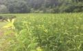出售四川樂山鳳凰李苗、批發早熟鳳凰李樹苗價格美麗。