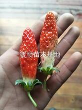 大庆销售草莓苗 章姬草莓苗 品种全价格优图片