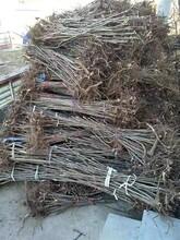 黄冈红油香椿树价格 香椿苗 大棚香椿一亩地种多少棵图片