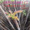 香椿苗厂商 红油香椿树