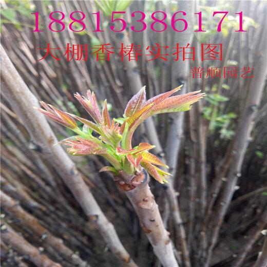 大棚红油香椿树苗繁育批发基地图