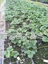 草莓苗 红颜草莓苗 草莓苗管理技术图片