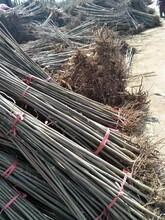 保定大棚红油香椿树苗繁育批发基地 香椿苗 绿油香椿树图片