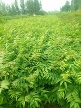 现货香椿苗批发价格 红油香椿树 欢迎实地考察采购图片