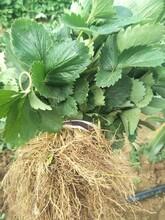 专业草莓苗制造厂 奶油草莓苗 大棚草莓苗品种介绍图片