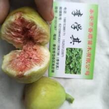 曲靖无花果树苗生产厂家 布兰瑞克无花果苗 新品种图片